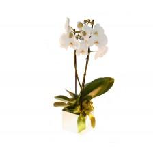 Cubo com Planta Phalaenopsis