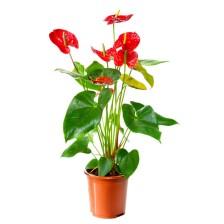 Planta de Antúrios